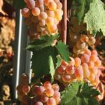 GI_grapes_vermentino_tuscany
