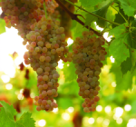 GI_grapes_PinotGris_FLAT