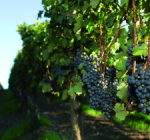 GI_grapes_redclusters_vine