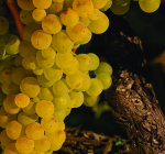 GI_grapes_chard_Jvineyards