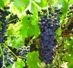 GI_grapes_Old vine shiraz