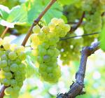 GI_grapes_chardonnay