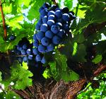 GI_grapes_MalbecArgentina