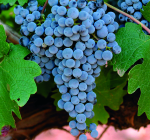 GI_grapes_Spain_Cabernet