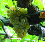 GI_grapes_albarino