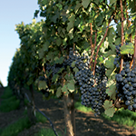GI_grapes_redclusters_vine