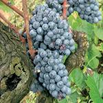 GI_grapes_redgrapeoldvine