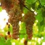 GI_grapes_PinotGris_FLAT