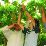 GI_grapes_pinotgrigio_pergolaharvest
