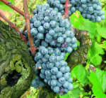 GI_grapes_redgrapeoldvine