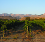 VY_SouthAfrica_vines_mtns