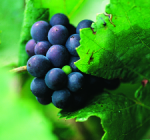 GI_grapes_pinotnoir_clsup