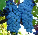 GI_grapes_reditaly