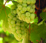 GI_grapes_rieslingClareValley