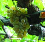 GI_grapes_albarino