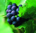 GI_grapes_pinotnoir_clsup