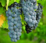 GI_grapes_shirazSouthAustralia