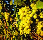 GI_grapes_white_onvine_sun