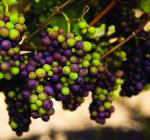 GI_grapes_Laetitia_PinotNoir