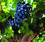 GI_grapes_MalbecArgentina