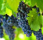 GI_grapes_red_onvine_napa