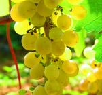 GI_grapes_viognier_NZ