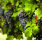 GI_grapes_redclstrsvine_GooseRidge