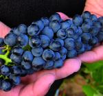 GI_grapes_redgrapesinhand