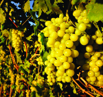 GI_grapes_white_onvine_sun